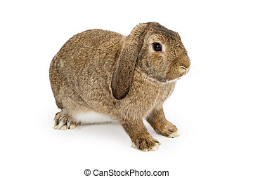 A profile of a young brown lop-earred rabbit isolated on white