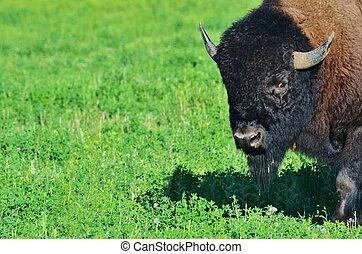 Profile of a buffalo in a meadow.