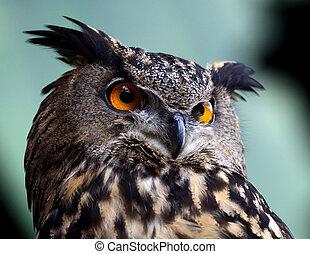 Eurasian Eagle Owl - Profile of a Eurasian Eagle Owl