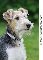 Profile of a foxterrier dog in the garden