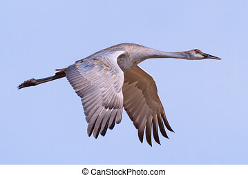 Profile of a Greater Sandhill Crane in Flight Against a Clear Blue Sky