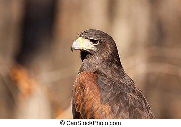 Harris Hawk - Profile of a Harris Hawk