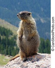 Profile of a Marmot