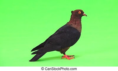 Profile of a pigeon on a green screen