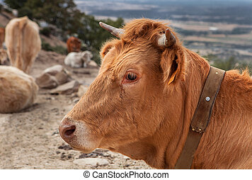 Profile of a red haired cow