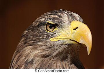 Profile of a sea eagle (Haliaeetus albicilla), ZOO Jihlava