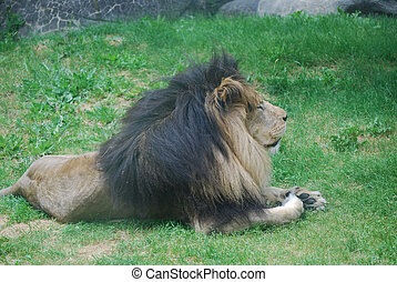 Profile of a Sleeping Lion in Grass