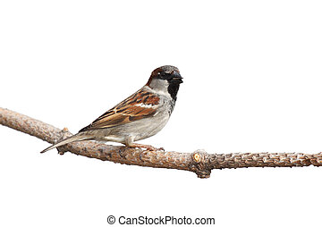 profile of a sparrow perched on a branch with a sunflower seed in its beak; white background