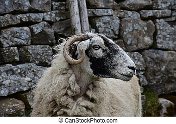 Profile of a Swaledale Ewe in Northern England