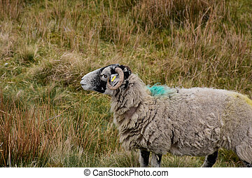 Profile of a Swaledale Ewe Standing in a Large Hay Field