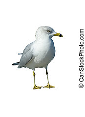 Sea Gull - Profile of a White and Grey Sea Gull Isolated