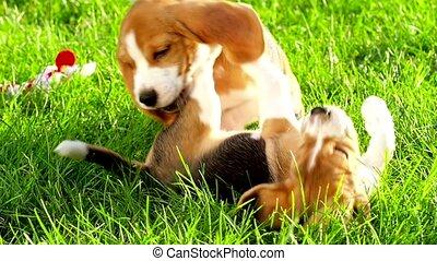 Profile of beagle dog. Slow motion - Profile of beagle dog...