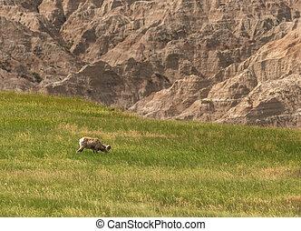 Profile of Bighorn Sheep Grazing in Field