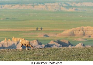 Profile of Bighorn Sheep Grazing on Grassy Field