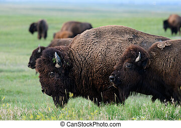 Profile of Bison Moving Across Field