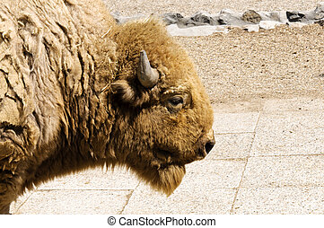 Profile of bison
