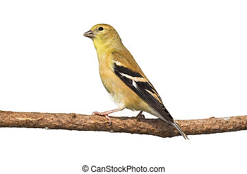profile of female american golfinch perched on a branch