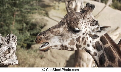 Profile of giraffe head chewing in slow-motion - Super slow...