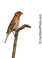 profile of house finch sitting on a branch