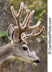 Profile of mule deer buck with velvet antler - Head profile ...
