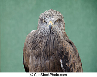 Profile of predatory bird hawk