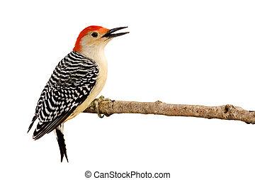 profile of red-bellied woodpecker with beak open