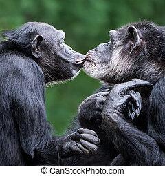 Chimpanzee Pair