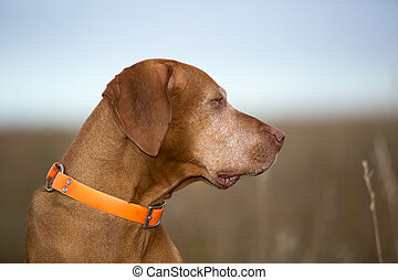 profile portrait of a hungaran vizsla outdoors