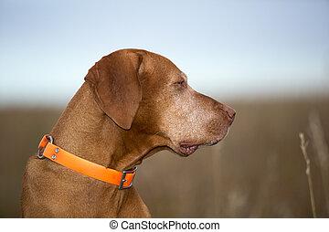 profile portrait of a hungaran vizsla outdoors