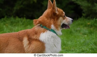 Profile portrait of a Pembroke Welsh Corgi in the park. Close up of a dog's muzzle with a turquoise collar. The pet looks in front of it, then sharply turns its head directing its gaze to the camera. Slow motion.