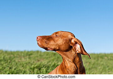 Profile Portrait of a Sunlit Vizsla Dog with Blue Sky