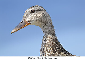 portrait of duck