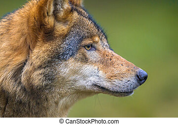 portrait of European Wolf (Canis lupus) en profile in natural forest habitat with green tranquil background