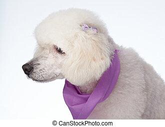 Profile portrait of groomed poodle dog