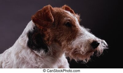 Profile portrait of the muzzle of a dog fox terrier breed in the studio on a gray black gradient background. The pet looks ahead periodically blinking. Close up