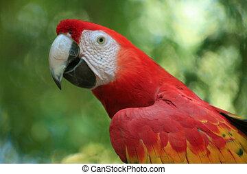Scarlet Macaw - Profile shot of beautiful Scarlet Macaw ...