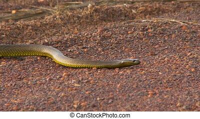 Profile view of a gwardar snake - A gwardar snake slithering...
