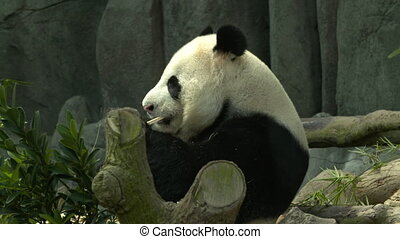 Profile view of a panda sitting and eating - A black and...