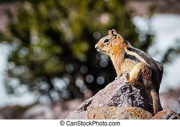 Profile view of Cute chipmunk sitting on a rock, Lassen Volcanic Park National Park, Northern California