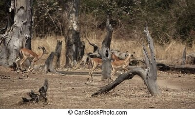 Profile view of impala running in slow-mo - Profile view of ...