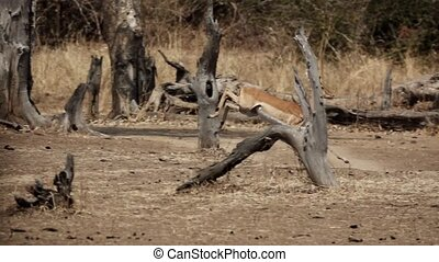 Profile view of impala running in slow motion - Side view of...