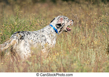 Profile view of Pointer dog with long hair and open mouth