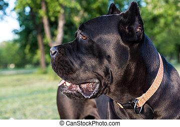 Profile viwe of cane corso