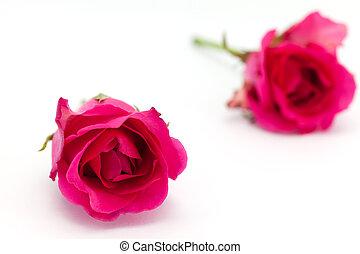 profondeur, fond, roses, isolé, deux, champ, blanc