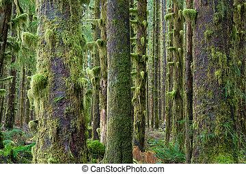 profundo, árboles, cedro, crecimiento, verde, hoh, musgo, rainforest, cubierto, bosque