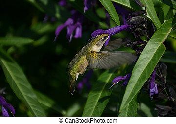 profundo, bebida, colibrí