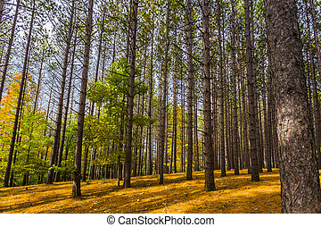profundo, bosque, vista, de, lodgepole, pino