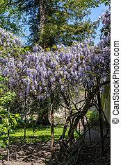 profusion, bleu, wisteria, fleurs, printemps