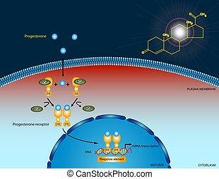 Progesterone signaling pathway
