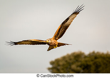 proie, impressionnant, vol, oiseau